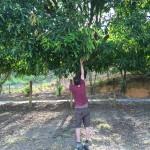Mangos am Landeplatz wie bei uns die Äpfel